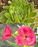 Meconopsis nepaulensis in two phases, rosette foliage and flowers, composite picture