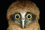 Rufous owl, Australia