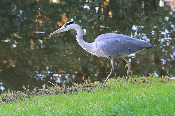 Great blue Heron hunting in a pond in Vondel Park, Amsterdam, Netherlands