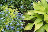 Hosta, Myosotis forget-me-nots in spring, Kolkwitzia DreamCatcher