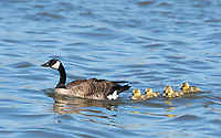 Canada Goose, Branta canadensis, with goslings on Lake Ewauna, Oregon