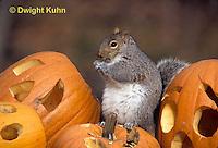 MA23-212z  Gray Squirrel - sitting on  carved Halloween pumpkin  - Sciurus carolinensis
