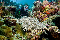 Scuba diver with Tasselled wobbegong, Eucrossorhinus dasypogon, dive site: Three systers, Farondi Island, Raja Ampat, West Papua, Indonesia, Indo-Pacific Ocean