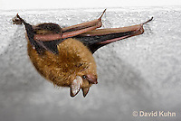 0411-1005  Little Brown Bat (syn. Little Brown Myotis), Myotis lucifugus  © David Kuhn/Dwight Kuhn Photography.