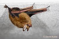 0411-1005  Little Brown Bat (syn. Little Brown Myotis), Myotis lucifugus  © David Kuhn/Dwight Kuhn Photography.