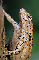 Texas Spiny Lizard, Sceloperus olivaceus, adult on Mesquite tree bark, Willacy County, Rio Grande Valley, Texas, USA