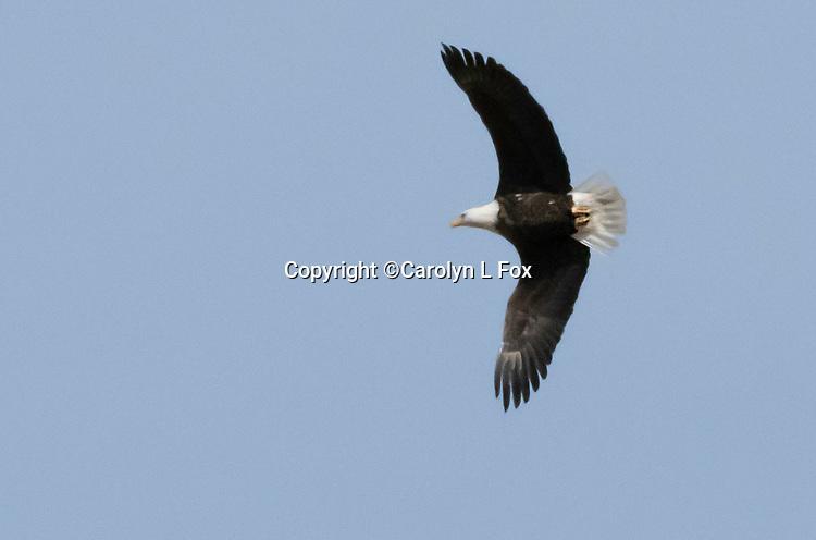 An eagle flies through the blue sky.