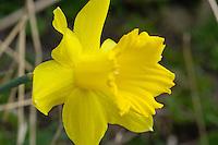Close-up of Daffodils (Narcissus) at Dunsop Bridge, Lancashire.
