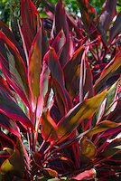 Red Ti leaf plant, used by the Hawaiians for  protection and other uses