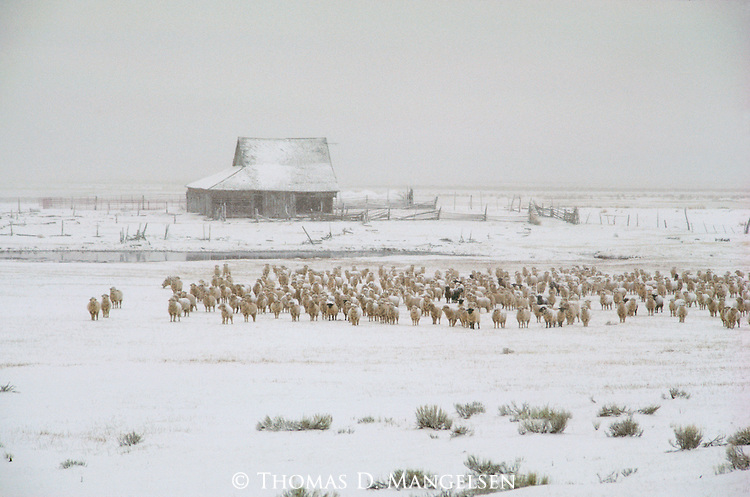 A flock of sheep stand together on a snowy day in Wyoming.