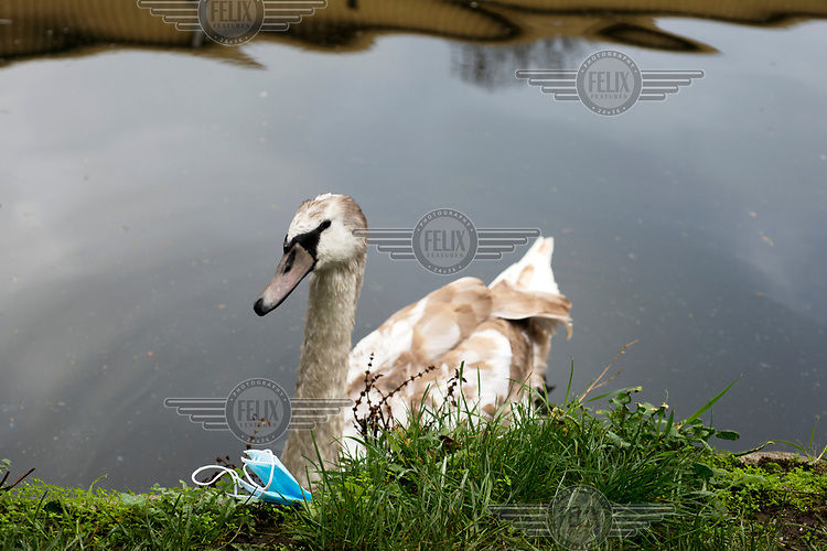 A swan and a discarded face mask beside the Lea Navigation Canal, LB Hackney.