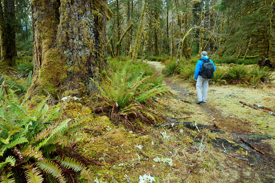 Man hiking through old-growth temperate rain forest on Spruce Nature Trail, Hoh Rain Forest, Olympic National Park, Jefferson County, Washington, USA