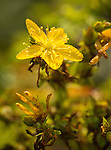 Common St. John's Wort wildflower