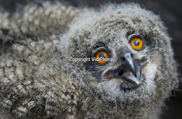 Foto: VidiPhoto<br /> <br /> ARNHEM - Het in 2016 jaar bij toeval ontdekte wilde oehoe-paar in Burgers' Zoo in Arnhem, heeft dit jaar drie jongen uitgebroed. Woensdagavond werden ze geringd, gewogen en opgemeten. Het gaat om twee vrouwtjes en één mannetje. De dieren zijn kerngezond. Volgens oehoe-expert Gejo Wassink komt dat doordat de ouders gebruik maken van een welvoorziene dis. In het dierenpark en omgeving zijn houtduiven, kraaien, ratten en egels -het menu van oehoe's- ruim voldoende aanwezig. Het broedpaar werd in 2016 bij toeval ontdekt en voelt zich inmiddels prima thuis in het dierenpark. Het zijn de enige wilde dieren die vrijwillig hebben gekozen voor de Arnhemse dierentuin. Voorzover bekend is Burgers' Zoo de enige dierentuin waar oehoe's in het wil leven. Inmiddels zijn er 26 oehoeplekken in Nederland, een nieuw record. Omdat het goed gaat met oehoe's en Duitsland en België, gaan jonge uilen op zoek naar nieuwe territoria in Nederland. De oehoe is de grootste uilensoort die in Europa voorkomt.