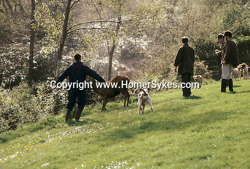 Quantock Staghounds 1990s Uk. Quantock Hills Somerset. The stag is brought to bay by hounds and then shot, culled by a 'Shooter'. 1997 UK