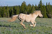 Wild Horse stallion or feral horse (Equus ferus caballus) running.  Western U.S., summer.