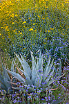 Anza-Borrego Desert State Park:  Desert agave (Agave deserti), blue flowering phacelia (Phacelia distans) and Flowering brittlebush (Encelia farinosa)