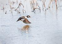 Female Bufflehead in flight, low over water with wings in downstroke