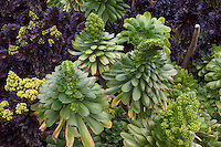 Aeonium succulents budding bloom, green and dark purple leaves