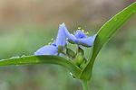 Ohio Spiderwort Tradescantia ohiensis