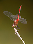 Red Saddlebags Dragonfly