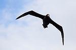 Northern Giant Petrel (Macronectes halli) flying, Kaikoura, South Island, New Zealand