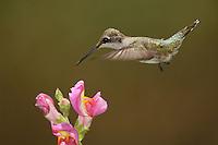 Black-chinned Hummingbird female (Archilochus alexandri)