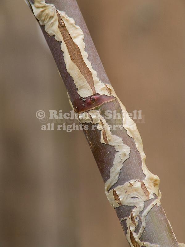 Leaf Miner damage to rose cane