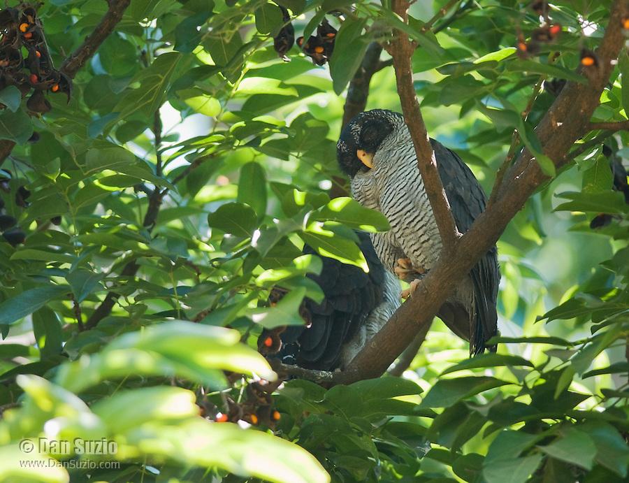 Black and white owl, Ciccaba nigrolineata, in a city park in Orotina, Costa Rica