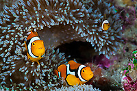 Clown Anemonefish in Sea Anemone, Amphiprion percula, Cenderawasih Bay, West Papua, Indonesia