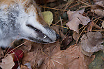 A close-up view of the face of a dead fox found on a leave covered hillside in Wardsboro Vermont in November 2007.