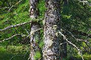Tamarack Larch - (Larix laricina) during the summer months Albany, New Hampshire USA