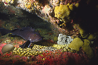 Male lingcod (Ophiodon elongatus) guarding its eggs, underwater off Quadra Island, British Columbia, Canada.