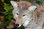 Coyote close-up face and head