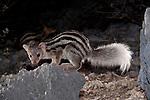 Grandidier's Mongoose or Giant Striped Mongoose (Galidictis grandidieri) foraging at night. Western edge of the Mahafaly Plateau, Lac Tsimanampetsotsa National Park, south west Madagascar. (IUCN: Endangered)