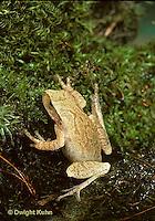FR17-026z  Spring Peeper Tree Frog - young frog  leaving water -  Pseudacris crucifer, formerly Hyla crucifer