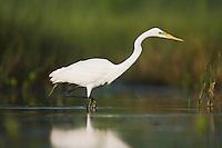 Great Egret (Ardea alba), adult, Sinton, Corpus Christi, Coastal Bend, Texas, USA