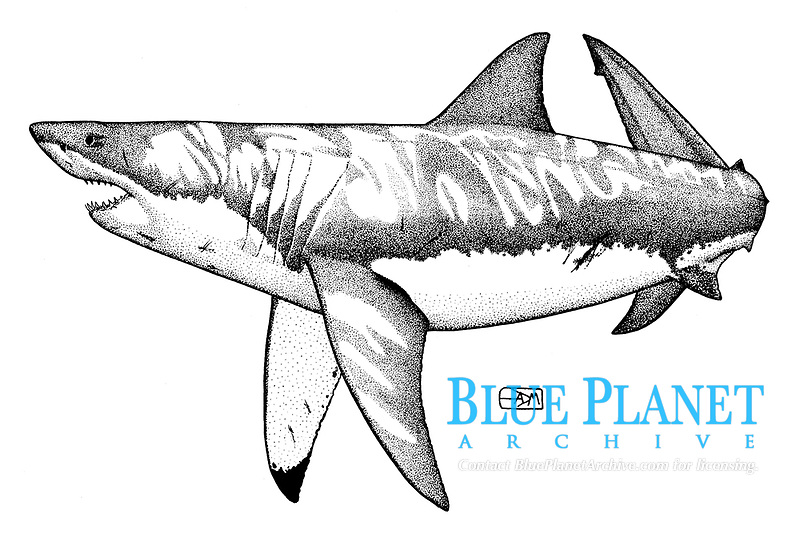 Great white shark, Carcharodon carcharias, threat display, pen and ink illustration.