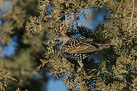 European Starling (Sturnus vulgaris) eating juniper berries.  Western U.S., November.