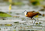 African Jacana (Actophilornis africanus) walking on floating lily pads, Lake Albert, Toro-Semliki Wildlife Reserve, Western Rift Valley, Great Rift Valley, western Uganda