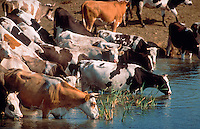 Cattle drinking at watering hole.