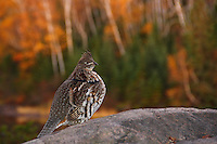 """""""Glorious Grouse""""<br /> <br /> Fall ruffed grouse encounter in the Boundary Waters Canoe Area Wilderness (BWCAW). <br /> <br /> As I was setting up for dinner at our campsite, I heard the familiar sounds of a ruffed grouse rustling through the brush. I paused, hoping to catch a glimpse of this often elusive game bird. Much to my surprise, he strutted into plain view atop the granite outcropping of our campfire area and paused to check out his surroundings. I began to speak calmly to him as I slowly walked to gather my camera. While offering him abundant, sincere flattery, he seemed to proudly pose on the granite catwalk as I captured his essence with the splendorous backdrop of the autumn-kissed shoreline."""