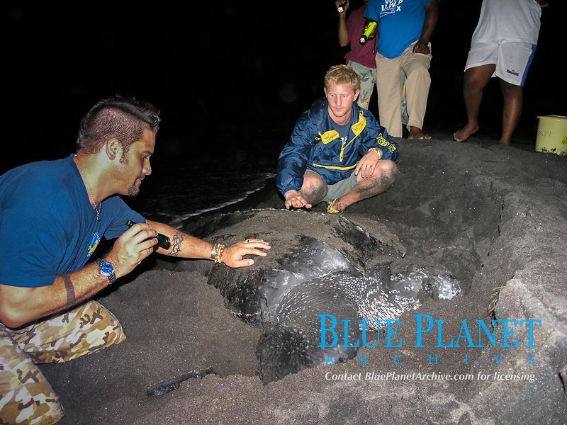 tourist and a nesting leatherback sea turtle, Dermochelys coriacea, Dominica, West Indies, Caribbean, Atlantic