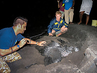 tourist and a nesting leatherback sea turtle, Dermochelys coriacea, Dominica, West Indies, Caribbean, Atlantic
