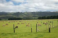 Deer Farm, near Masterton, Wairarapa region, north island, New Zealand
