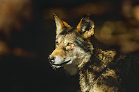 Red Wolf.Endangered species.  Southeastern U.S.A..Canis rufus