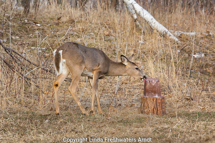 White-tailed doe licking a mineral block