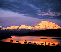DIGITAL COMPOSITE IMAGE: Herd of caribou walks along the tundra by Wonder Lake with alpenglow on Mt Denali in the distance, Denali National Park, Alaska