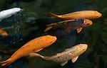 MUS, Mauritius, bei Rivière des Anguilles, La Vanille Crocodile Park & Nature Reserve: Koi-Karpfen | MUS, Mauritius, near Rivière des Anguilles, La Vanille Crocodile Park & Nature Reserve: coi carps