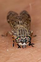 Regenbremse, Regen-Bremse, Bremse, Haematopota pluvialis, sticht in menschlichen Arm, auf Haut, Blutsaugend, Blutsauger, cleg-fly, cleg
